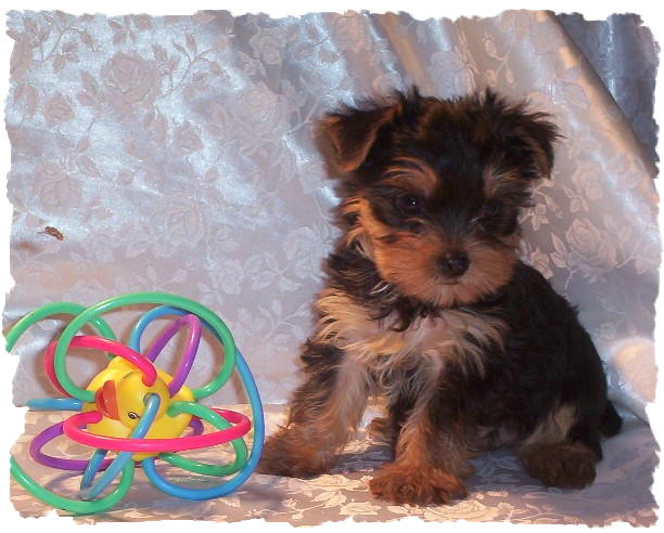 Basil Tiny Akc Male Yorkie Puppy